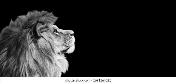 黒の背景にアフリカのライオンのプロフィールの肖像画、動物の壮大な劇的な王、楽しみに夢を見ているパンテーラレオを誇りに思っています。黒と白の色調のコピースペース付きフォトバナー。