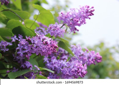 Big lilac branch bloom. Bright blooms of spring lilacs bush. Spring blue lilac flowers close-up on blurred background. Bouquet of purple flowers