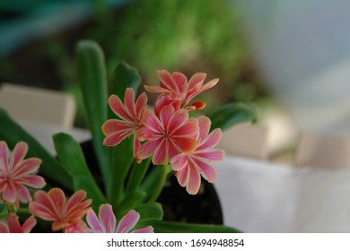 A close up of tiny striped pink flowers of Lewisia cotyledon (Siskiyou lewisia or cliff maids)