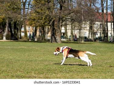 自然な緑の背景にビーグル犬の品種の犬を表示します