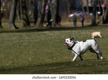 ブルドッグが走ってカメラに向かって遊ぶ