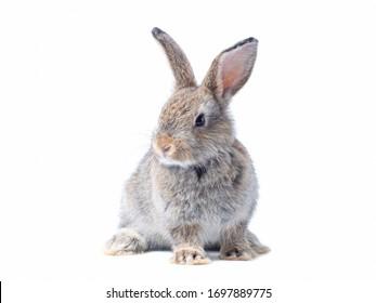 Adorable bebé conejo gris sentado aislado sobre fondo blanco. Preciosa acción de conejo joven.