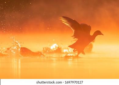 Focha eurasiática (Fulica atra), con una hermosa superficie de agua de color naranja. Un hermoso pájaro de agua negra con pico blanco desde el estanque en la niebla de la mañana. Escena de vida silvestre de la naturaleza, República Checa