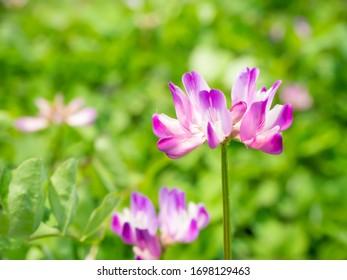 Flor de loto que florece en el campo en primavera