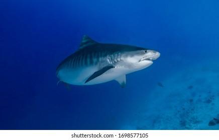 Tiger shark in Fuvahmulah Maldives