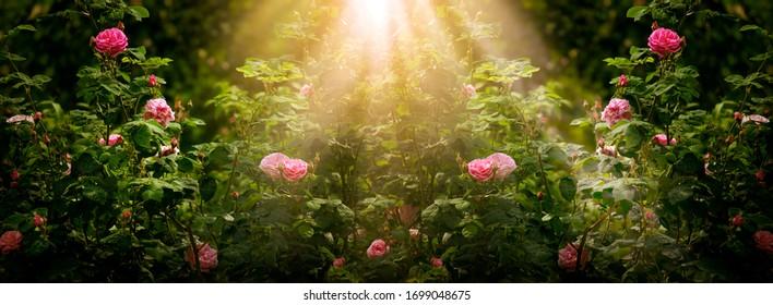 Blühende Rosenblumen im fabelhaften Garten auf mysteriösem märchenhaftem Blumenhintergrund des Frühlings- oder Sommerblumens mit Sonnenlichtstrahlen und -strahlen, fantastische Natur-Traumlandschaft der Fantasie, breites Panorama-Banner