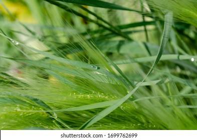 Spikes of foxtail barley (Hordeum jubatum), a wild barley species.