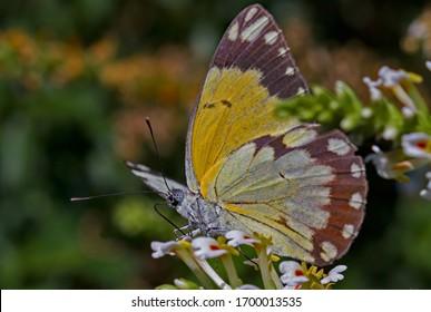 Durstiger Schmetterling, der Nektar trinkt, während er auf einer Blume ruht