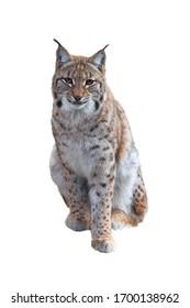 Retrato de lince euroasiático sentado (Lynx lynx) aislado sobre fondo blanco. Bestia de presa en temporada de invierno. Gran felino salvaje del bosque bávaro. Escena de vida silvestre de la naturaleza. Hábitat Europa, Asia.