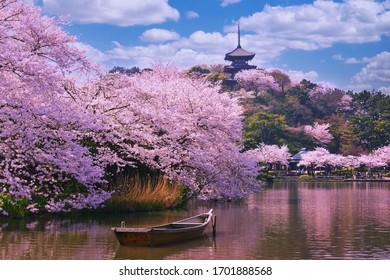 Rosa Sakura-Blumen, Kirschblüten rosa, Sakura-Kirschblütengasse. Wunderschöner malerischer Park mit Reihen blühender Kirsch-Sakura-Bäume und grünem Rasen im Frühjahr,