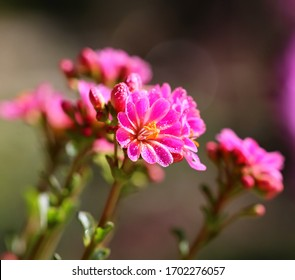 "Close-up of beautiful dewy dewy garden flowers ""Siskiyou lewisia""."