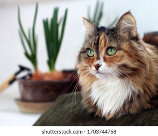 Beautiful  domestic cat with green, smart eyes. Three-color cat's hair: white, red and black. Domestic Long Hair Cat.
