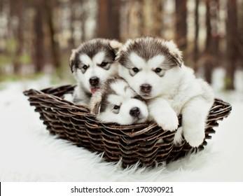 生後1か月のアラスカンマラミュートの子犬を屋外で飼う