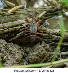 Louisiana crayfish or red swamp crawfish
