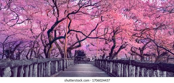 Schöne rosa Kirschbäume blühen extravagant am Ende einer Holzbrücke in Park, Japan, Frühlingslandschaft der japanischen Landschaft mit erstaunlichen Sakura- (Kirsch-) Blüten