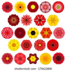 白で隔離される様々なカラフルな万華鏡のような曼荼羅の花の膨大な選択。同心円状のパターンの花の大きなコレクション。バラ、赤、黄、オレンジ、紫の色のデイジーの花。