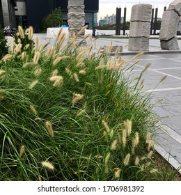 Setaria, Yellow Bristle Grass, Foxtail Grass.