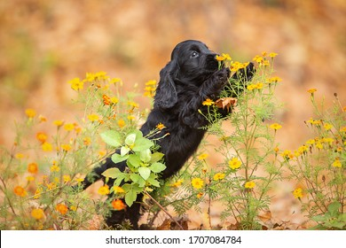 A black english cocker spaniel puppy