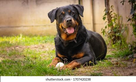 幸せな庭でボールとロットワイラー犬の遊び