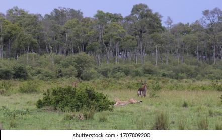 Ein Gepard mit rasender Geschwindigkeit im Weitsprung, der einer Thomson-Gazelle nachjagt, im verschwommenen Hintergrund ein Wasserbock, Buschland und der Waldrand