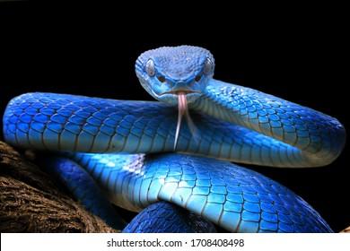 Primer plano de la serpiente víbora azul, cabeza de serpiente víbora, azul insularis, Trimeresurus insularis, animal closeup