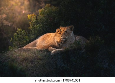 Kjærlighet i luften. African Lion-par klikket i Masai Mara, Kenya. Mørkt og humøraktig portrett av ville løver, perfekt for plakater, bakgrunnsbilder eller for å bli trykt for vegger hjemme eller på kontoret.