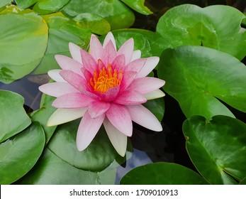 Lotus oder Seerose im Teich