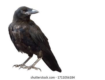 Cuervo negro aislar sobre un fondo blanco. Un cuervo negro está sentado sobre una piedra.