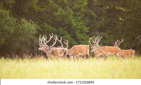 Group of dominant red deer, cervus elaphus, stags walking in fresh seasonal nature from side view. Idyllic herd with many wild male mammals with antlers and orange or brown fur in summertime
