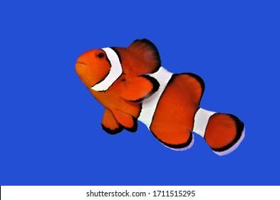 孤立した青い背景の上のオレンジ色のカクレクマノミ(perculaカクレクマノミ、カクレクマノミ、カクレクマノミ)。Amphiprion perculaは、人気のある水族館の魚として広く知られています。