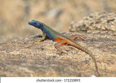 男性のオーグラビーズ(ブロードリーズ)フラットリザード(Platysaurus Broadleyi)は、南アフリカの北ケープ州にあるオーグラビーズフォールズ国立公園の花崗岩の岩の上に座っていました。