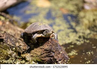 Isolierte Süßwasserschildkröte, die die Kamera betrachtet, auf einem Stamm nahe dem Wasser. Unscharfer Hintergrund