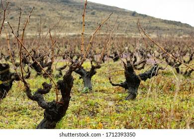 ワイン用ブドウのブドウ畑の写真。ブドウの木が一列に並んでいます。写真は乾いた冬に撮影されました。ボズカーダ、トルコ。