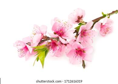Pfirsichblumen lokalisiert auf weißem Hintergrund. Frühlingsblumen.