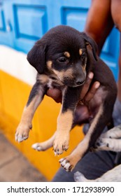 Adorable rottweiler pup in a man's hand on Sal, one of the islands of Cape Verde