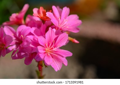 Close-up of a pink Lewisia, Porzellanröschen