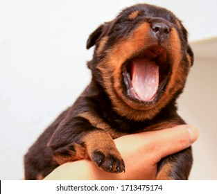 Big yawn mouth open Rottweiler baby dog in hand