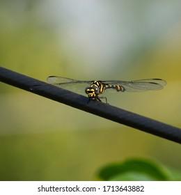 Una mosca del dragón con anillos de oro sentado amarillo negro dragón mosca naturaleza insecto