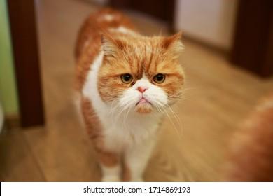 Portret van een emotionele boze kattengarfield