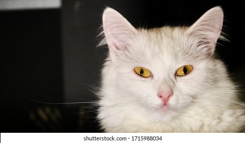 Türkisches Angoramädchen mit gelben Augen schwaches Licht