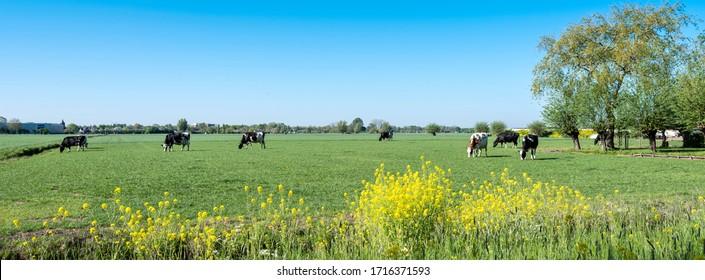 青い空とリールダム近くのオランダの中心部にある緑の春の牧草地で木の下の黄色い菜の花と斑点のある牛