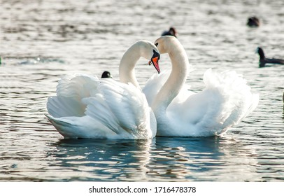 Two white swans couple in love. Swans in water
