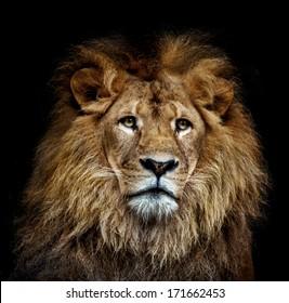 ein farbiges Löwenporträt auf schwarzem Hintergrund