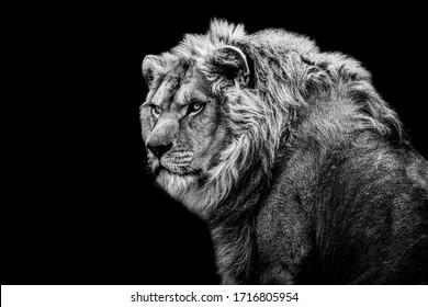 Löwe mit einem schwarzen Hintergrund in Schwarzweiß