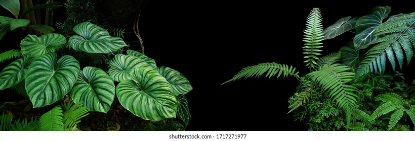 Tropical rainforest foliage plants bushes (ferns, palm, philodendrons and tropic plants leaves) in tropical garden on black background, green variegated leaves pattern nature frame forest background.
