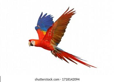 白い背景で隔離の緋色のコンゴウインコの飛行。