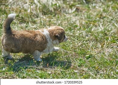 Hund auf grüner Wiese. Beagle Welpe zu Fuß