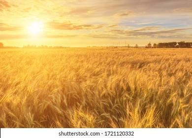 Escena de puesta de sol o amanecer en el campo con centeno o trigo joven en el verano con un fondo de cielo nublado. Paisaje.