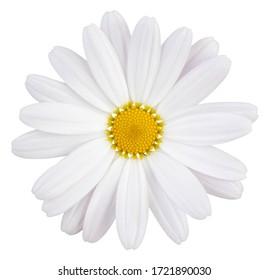 Schönes weißes Gänseblümchen (Marguerite) mit einem kleinen Rosa, lokalisiert auf weißem Hintergrund, einschließlich Beschneidungspfad.