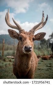 Beautiful Deer Antlers in open Field at West Java